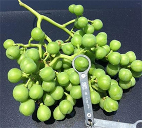 Grape image