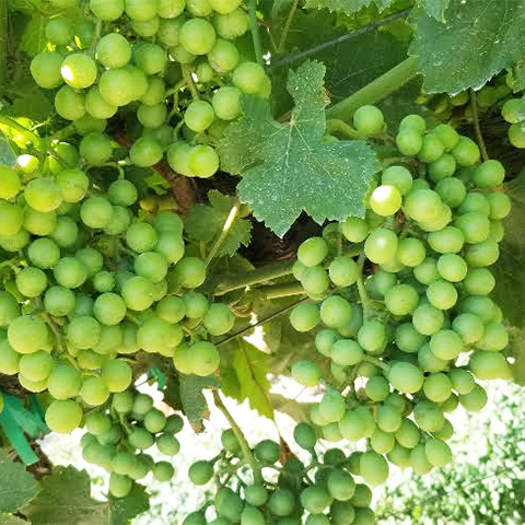 2018 Grape Season image